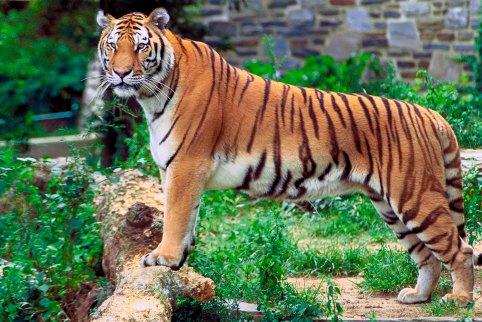 Ataca tigre a empleadoAR